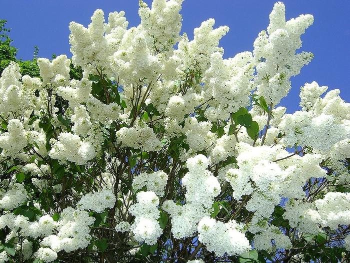 Фото кустарников цветет белыми цветами