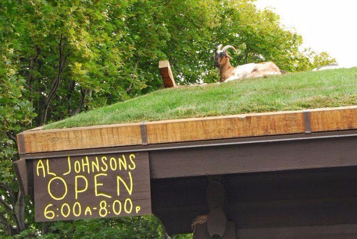 козы на крыше ресторан Al Johnson's Swedish Restaurant and Butik 1 (700x469, 350Kb)
