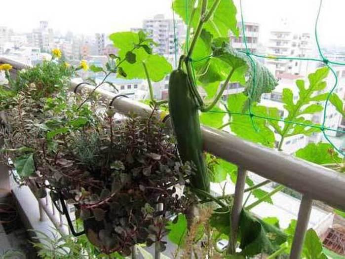 Огурцы на открытом балконе. - фото отчет - каталог статей - .