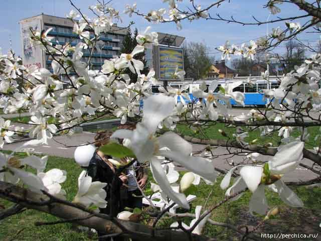 4979645_magnolii2 (640x480, 145Kb)