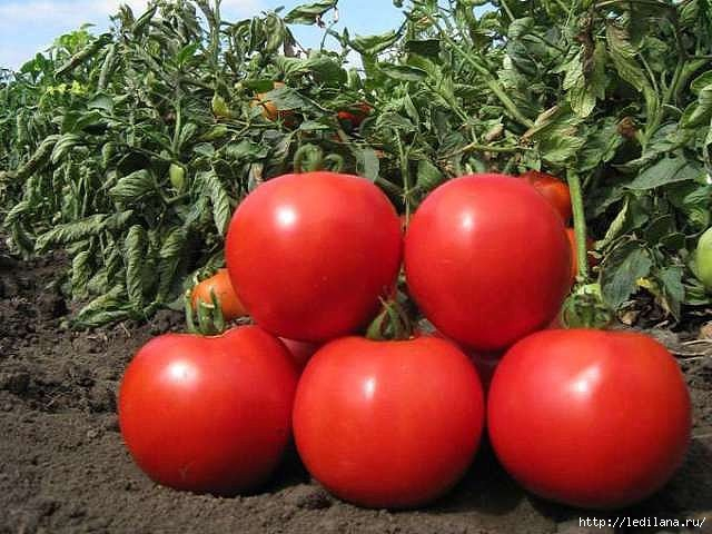 3925311_tomati_pomidori (640x480, 165Kb)