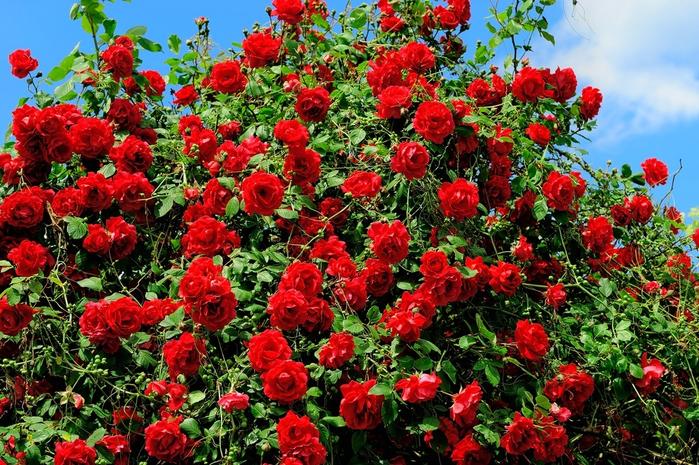 pletistaja-roza-7 (700x465, 595Kb)