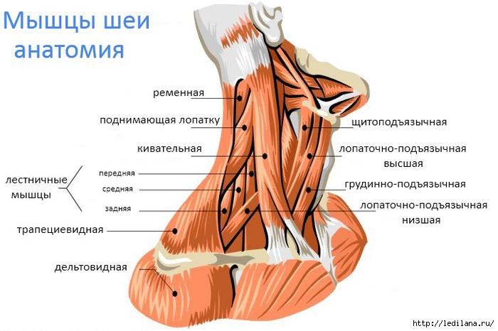 3925311_sheya_anatomiya (700x466, 150Kb)