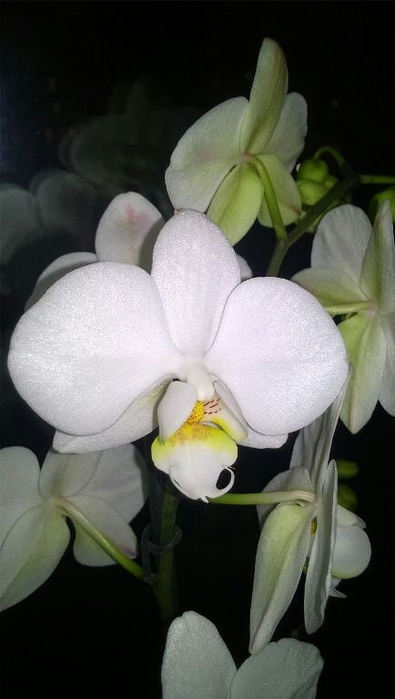 4924802_orhideya2 (395x700, 135Kb)