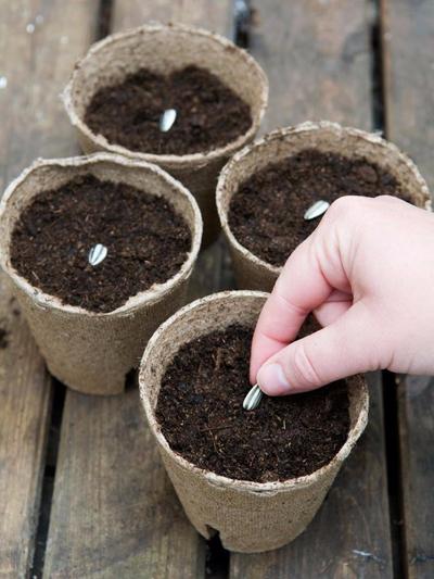 Вырастить подсолнух в домашних условиях 468