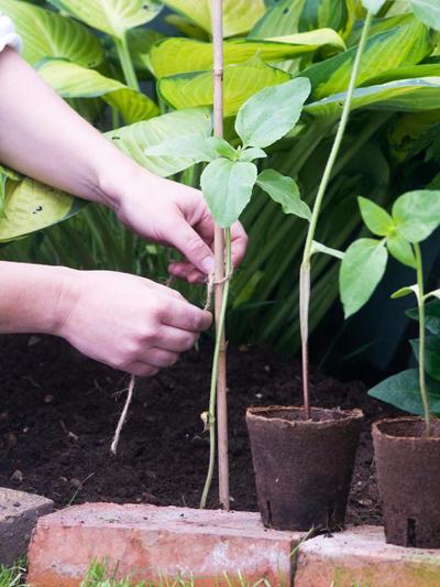 Как посадить подсолнухи (4) (400x533, 278Kb)