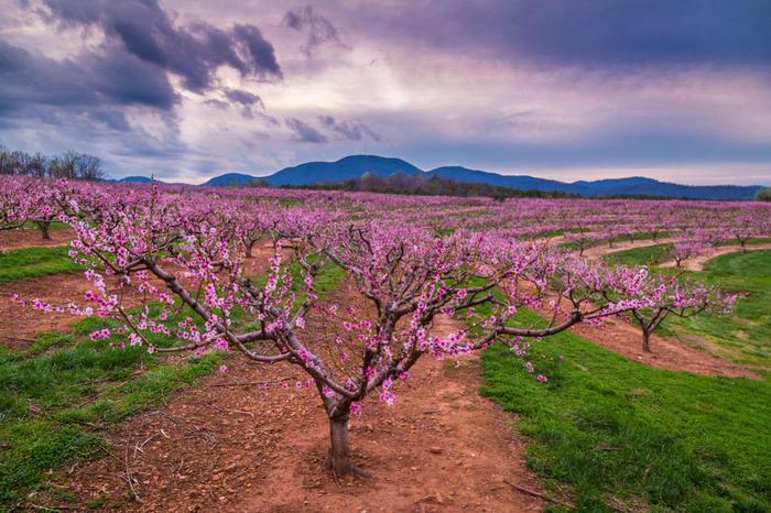 Цветущие персиковые сады (700x466, 485Kb)
