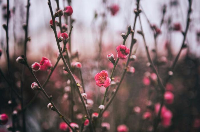 Цветущие персиковые сады3 (700x463, 280Kb)
