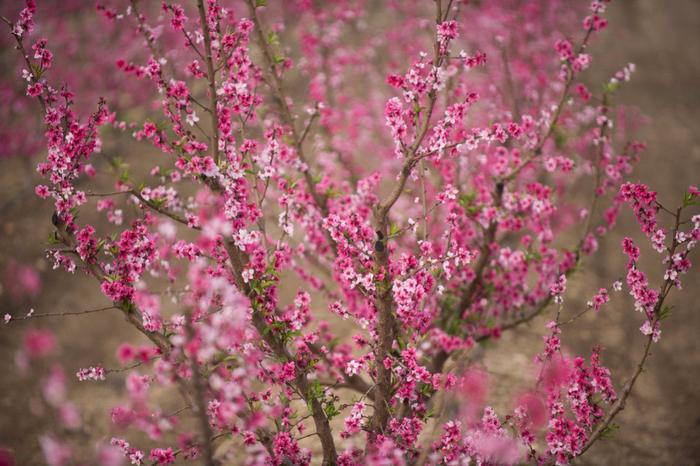 Цветущие персиковые сады4 (700x466, 441Kb)
