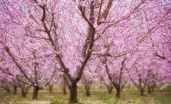 Цветущие персиковые сады8 (700x427, 474Kb)