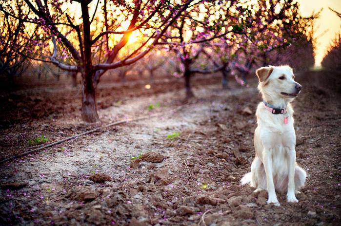 Цветущие персиковые сады10 (700x464, 504Kb)