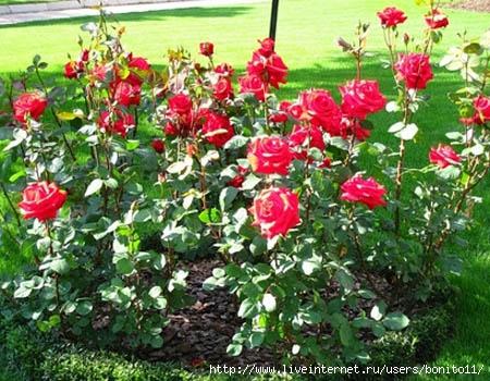Уход за розами пошагово