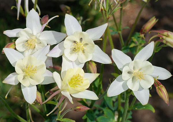 colorado-state-flower-3 (600x424, 187Kb)