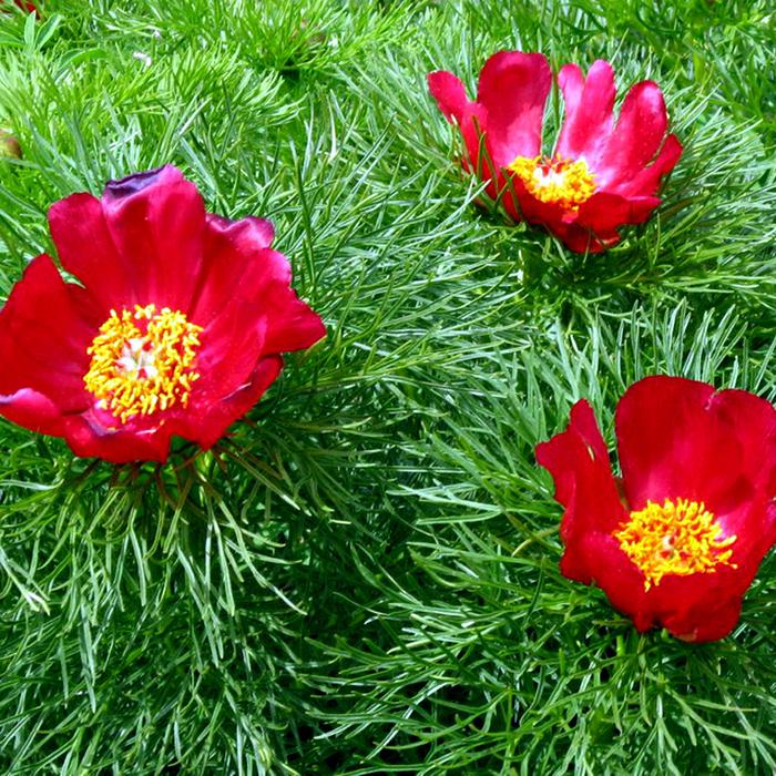 Paeoniatenuifolia (700x700, 845Kb)