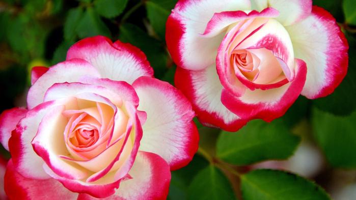 обои розы на рабочий стол 1366х768 № 648401 без смс