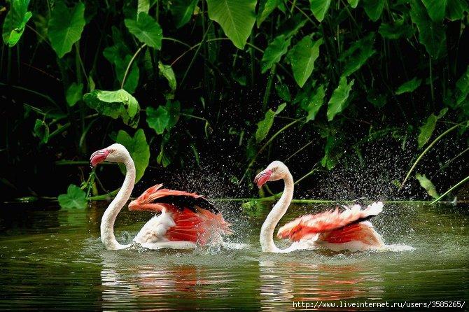 розовые фламинго (670x446, 233Kb)
