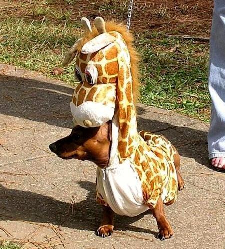 giraffe-wiener-dog (450x496, 69Kb)