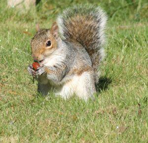 897906_squirrel (300x289, 26Kb)