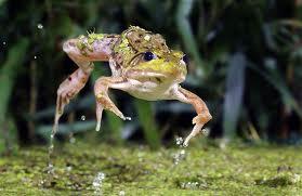 3983111_frog (279x181, 9Kb)