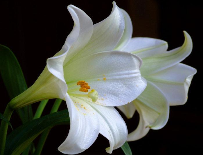 white-lilies (700x535, 48Kb)