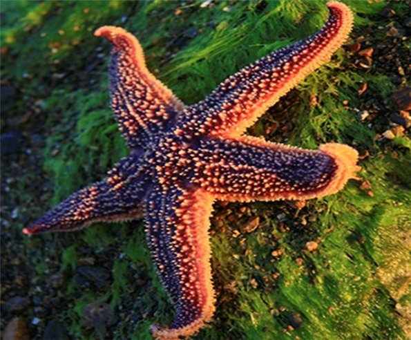 морская звезда1 (595x492, 86Kb)