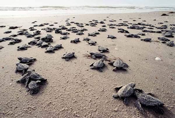морская черепаха по пути в воду (600x407, 56Kb)