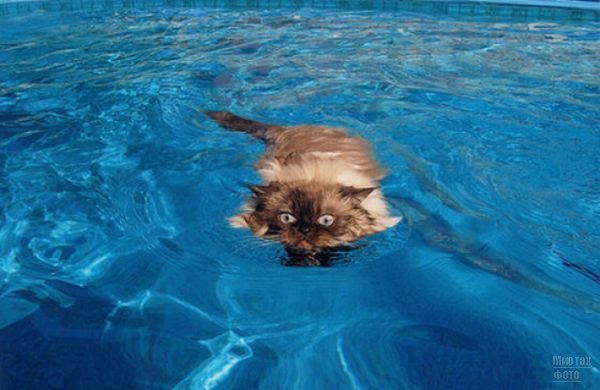 3518263_1277821455_swimming_cats_26 (600x390, 45Kb)