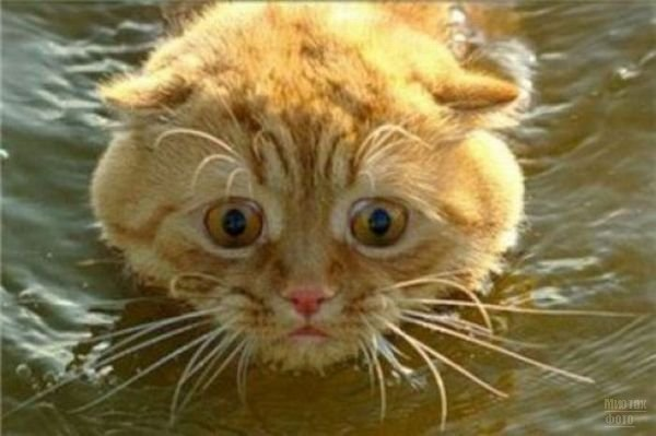 3518263_1277821486_swimming_cats_190 (600x399, 40Kb)