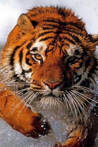 Bathing_tiger (320x480, 145Kb)