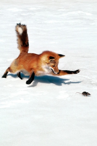 Fox_in_nature (320x480, 97Kb)