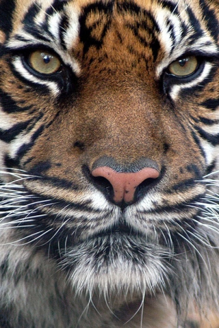Indian_Tiger (320x480, 175Kb)