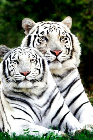 Tigers_Family (320x480, 138Kb)