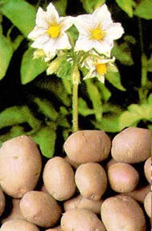 ...сортов картофеля, который распространялся по всему Советскому Союзу...