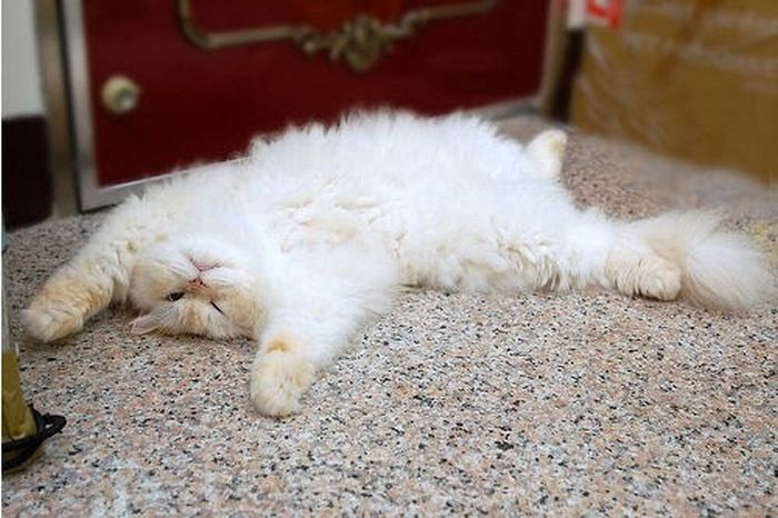 1276699198_cute_and_funny_himalayan_cat_03 (700x466, 64Kb)