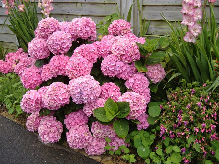 Как поменять цвет у гортензии садовой