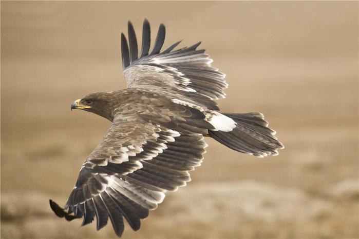 Орел степной (700x466, 29Kb)