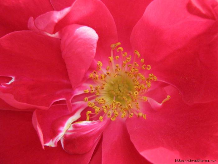 цветы, дача 2011, Shraddha, 1 (700x525, 195Kb)