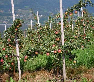 Lofthus_fruit_trees (375x329, 45Kb)
