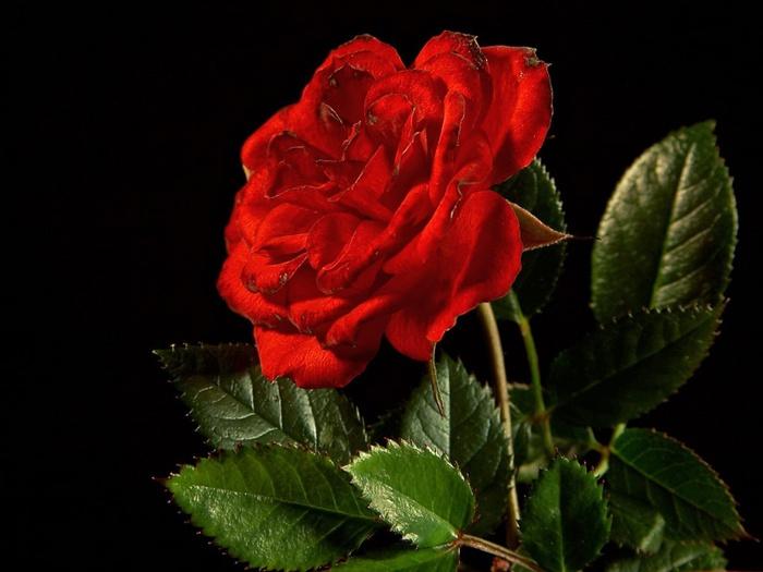 роза5 (700x525, 97Kb)