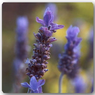 lavender (362x362, 39Kb)