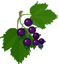 blackcurrant (117x128, 7Kb)
