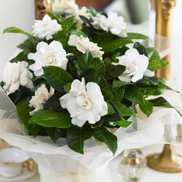 Scented_Gardenia (600x600, 37Kb)