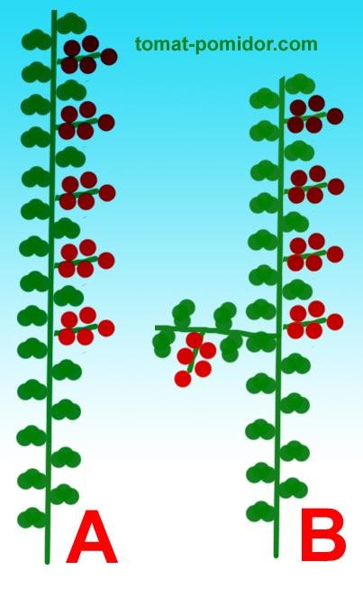 Выращивание томатов в один