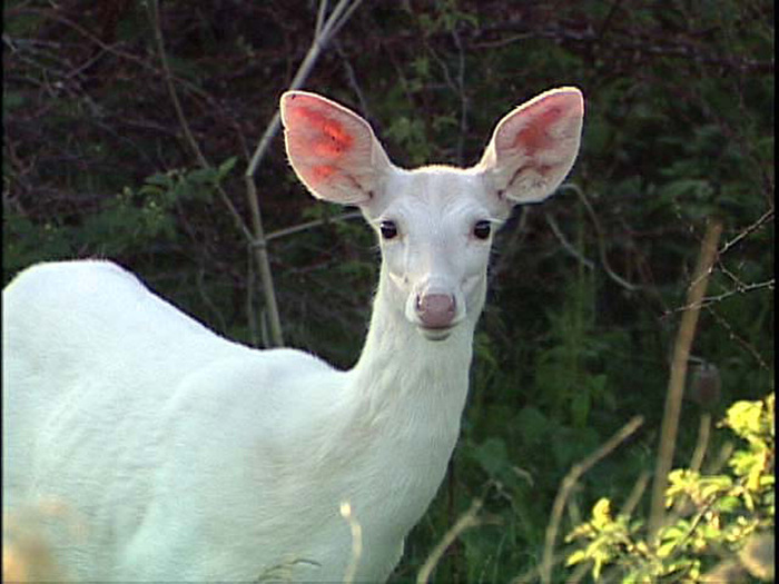 curious-white-doe-copy (700x525, 122Kb)