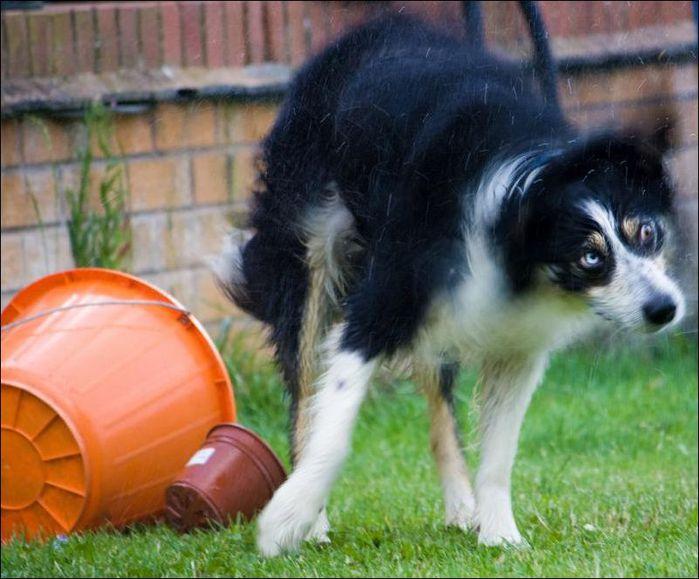 dog-shaking-08 (700x579, 65Kb)