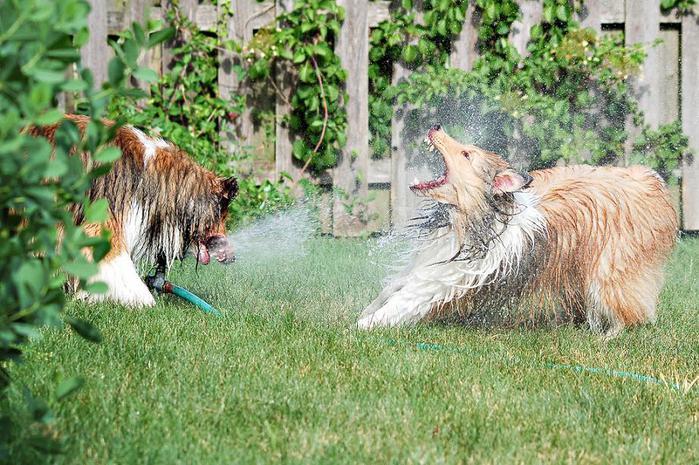 dogs-vs-sprinklers-02 (700x465, 92Kb)