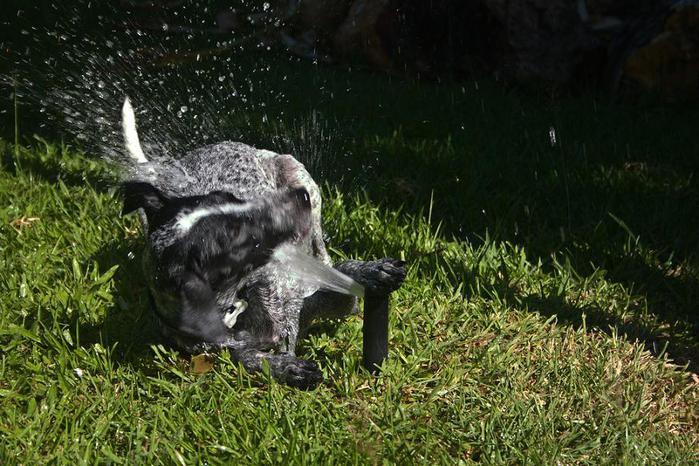 dogs-vs-sprinklers-05 (700x466, 81Kb)