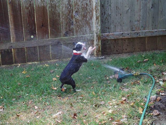 dogs-vs-sprinklers-07 (640x480, 79Kb)
