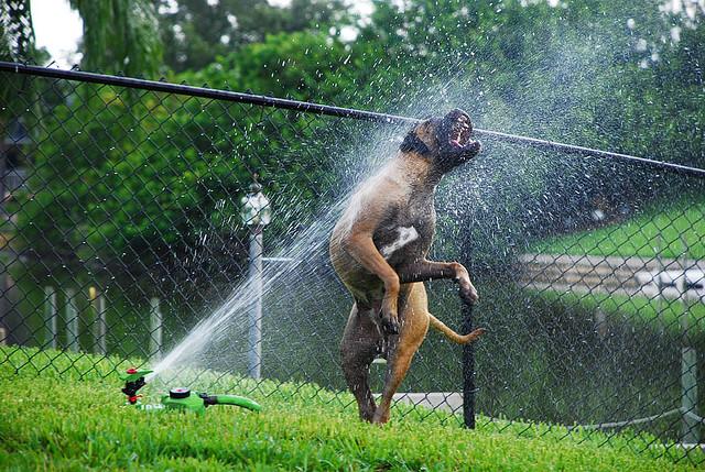 dogs-vs-sprinklers-13 (640x429, 180Kb)