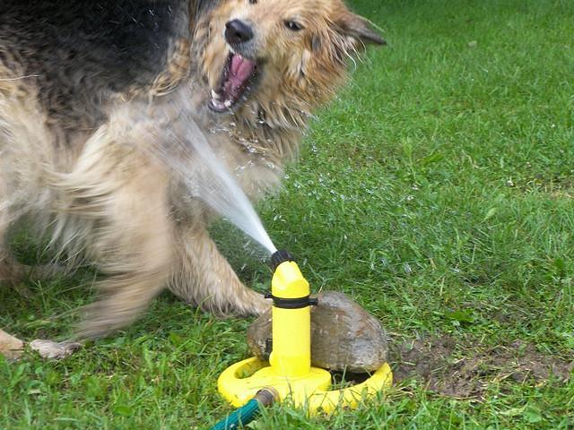 dogs-vs-sprinklers-15 (640x480, 71Kb)